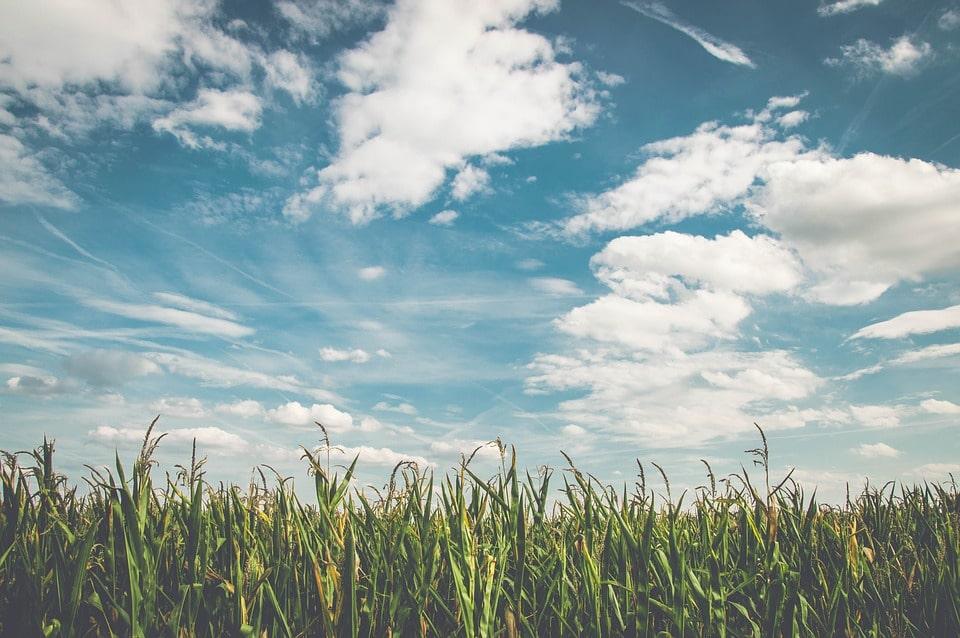 Fresh Air in a Corn Field